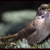 #bird-column, house wren, Boothbay Register